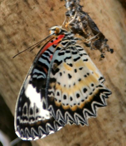 Butterfly emerging from Cocoon, IMG_0878.JPG