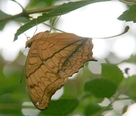 Butterfly, IMG_0891.JPG