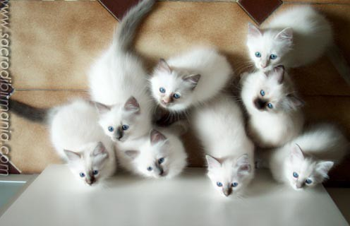 cuccioli, Albafeles kittens, Sacred Birman cats