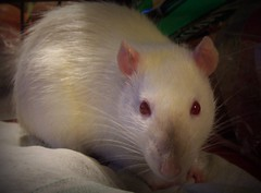 Sweet Pippin (Twitchietai) Tags: pet animal closeup nose rodent furry rat tail small siamese whiskers explore pippin rattie twtme tartyshots