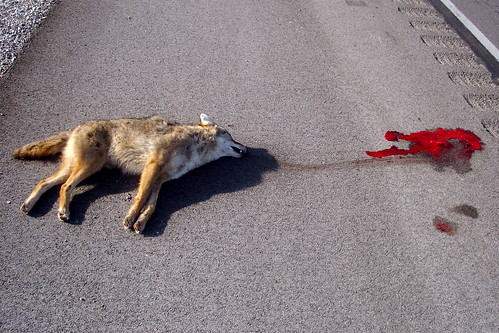 dead coyote - body,  with blood