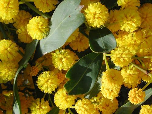 Es blühen die Mimosen