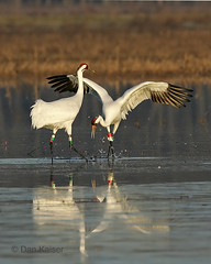 Whooping Crane Dance #1 by Dan Kaiser (dhkaiser) Tags: county display crane jackson bottoms ewing ias courtship whooping