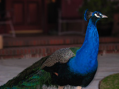 Peacock.JPG (Bill Selak) Tags: blue green bird town peacock photoaday around vividcolors stopthecar wwwbilladayblogspotcom