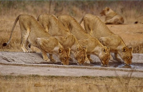 4 Lions at waterhole