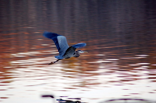 Blue Heron by Fruitpoops