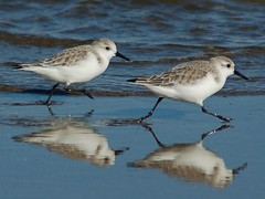 Pilrito das Praias / Sanderling (jvverde) Tags: bird portugal birds pen eli vlucht calidris wing feather ale lot birdsinportugal