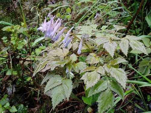 Corydalis temulifolia