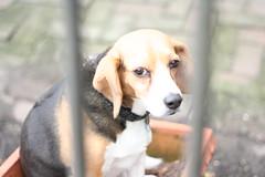 Beagle by Elaine Vigneault