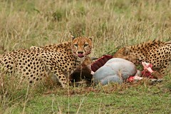 Lunch---On the Run (Picture Taker 2) Tags: wildlife wilderness wildebeest wildanimals upclose unusual pretty predator outdoors nature native masimarakenya mammals curious colorful cheetahs bigcats africaanimals coalition africa