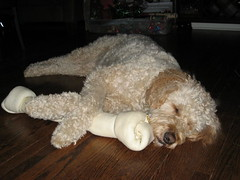 Maggie with Christmas Bone, Dec 06