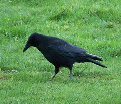 Carrion Crow on Mellish Sports Ground