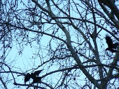 Ravens landing in tree