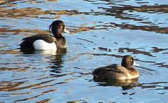 Tufted Ducks on Surrey Water