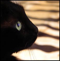 Negra (EARTH 2015) Tags: pets eye animals closeup cat blackcat dof bokeh negra animalplanet bestofcats