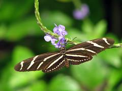 Zebra Longwing (JenniferNelms) Tags: nature butterfly interestingness jen charleston 80 cypressgardens zebralongwing zebraheliconian heliconiuscharithonius interestingness80 i500 specnature mywinners impressedbeauty ultimateshot jenatl