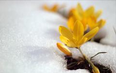 Kardelenlerdir delip geçen kar tanelerini kendilerine olan olanca güveniyle , inadına.