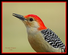 """Chin Up"" (Momba (Trish)) Tags: red bird birds woodpecker nikon bravo tennessee redbelliedwoodpecker nikkor soe momba 80400mmf4556dvr nikond200 interestingness151 i500 outstandingshots nikonstunninggallery specanimal animalkingdomelite qemdfinch superbmasterpiece explore01february2007"