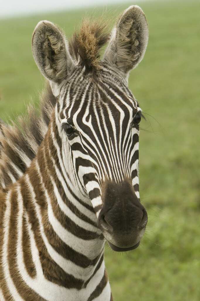 Zebra Faces http://animalphotos.info/a/topics/animals/mammals/zebras/