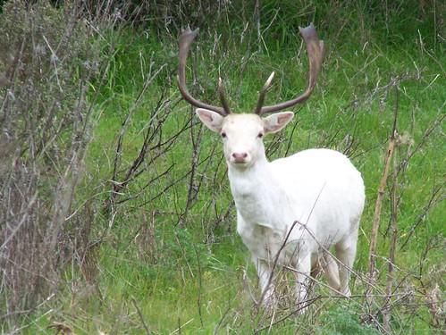 20070201 Fallow Deer