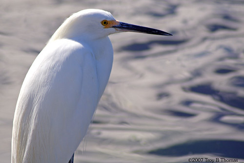 Snowy Egret; Photography by Troy Thomas