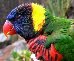 Lorikeet (shesnuckinfuts) Tags: bird zoo colorful lorikeet portlandor oregonzoo featheryfriday specnature northwestusa animaladdiction abigfave shesnuckinfuts february2007 impressedbeauty