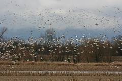 Snow Geese and Ducks (moutdoors) Tags: wildlife waterfowl sauvieisland snowgeese