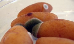Mouldy Baby Sweet Potatoes