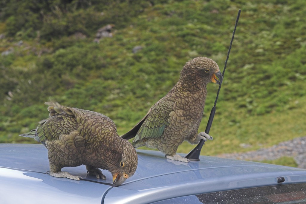 Damn (loveable) Keas Eating Our Car by Beppie K, on Flickr