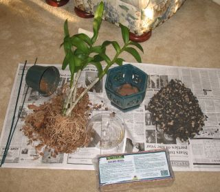 IMG_2756 repotting my dendr 2 022807