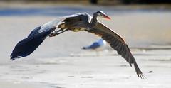 Great Blue Heron, Flight...Part One of Three (ozoni11) Tags: bird heron nature birds animal animals flying wings nikon flight wing maryland d200 greatblueheron herons gbh greatblueherons featheryfriday animaladdiction animalkingdomelite ozoni11