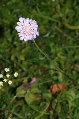 997039938 Small_Scabious 2007-07-31_19:36:36 Bald_Hill