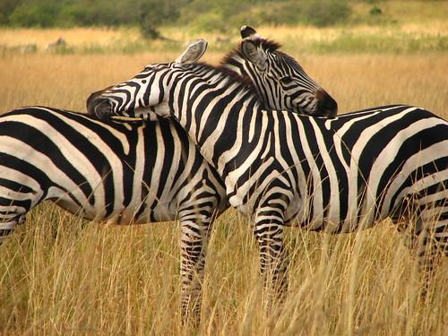 317585307_19c44ec304 - Kon ma inlove na ang Zebra - Love Talk