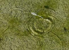 Orthetrum sabina (Bob Reimer) Tags: dragonflies fieldtrip oman odonata oviposit orthetrumsabina enhg asubaitah wilayatmahdah