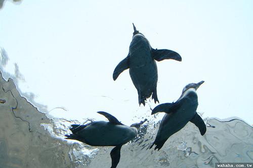 旭山動物園.企鵝游泳