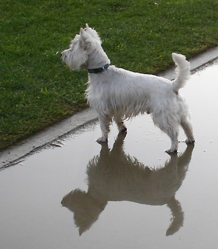 Reflection of Wee Westie