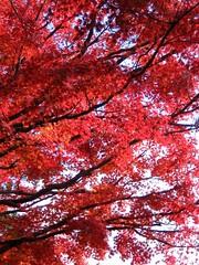 Intense (andreakw) Tags: autumn red tree japan maple branch momiji koyasan  kansai wakayama