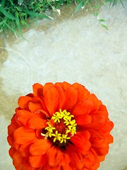 (pht) Tags: flower nature zinnia f18