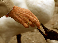 a sweet relationship... (Anas Bukhash (nascity)) Tags: old food bird bread swan hand sweet eat relationship oldlady feed capture oldhands nascity
