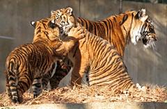 Tigers @ National Zoo 031 (smata2) Tags: cat canon zoo washingtondc dc tiger gato nationalzoo katze sumatrantiger canonrebelxt animalplanet smithsoniannationalzoo nationalzoowashington itsazoooutthere zoosofnorthamerica zoosoftheworld zoosofamerica zoosoftheunitedstates