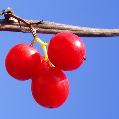 Berry Christmas! (cattycamehome) Tags: christmas blue red sky colour macro sunshine tag3 taggedout festive juicy berry bravo tag2 december all tag1 berries bright quality  sunny rights carol stick greetings merry stalk reserved catherineingram december2006 missedthetag abigfave artlibre cattycamehome allrightsreserved