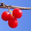 Berry Christmas! (cattycamehome) Tags: christmas blue red sky colour macro sunshine tag3 taggedout festive juicy berry bravo tag2 december all tag1 berries bright quality © sunny rights carol stick greetings merry stalk reserved catherineingram december2006 missedthetag abigfave artlibre cattycamehome allrightsreserved©