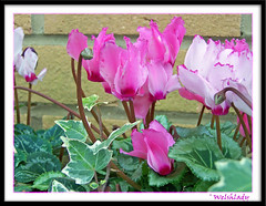 Cyclamen and Ivy (welshlady) Tags: flowers trees red ilovenature memorial kodak ivy 100views 300views 200views lovely bandstand mygarden cyclamen florafauna eyeofthebeholder helluva captainscott welshlady 10faves amateurhour theworldthroughmyeyes 40views mywinner abigfave december19th