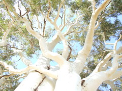 Ghost Gum (Corymbia aparrerinja) at Simpsons Gap, part of the West MacDonnell NP, Central Australia. (Michael J. Barritt) Tags: eucalypt eucalyptus simpsonsgap centralaustralia ghostgum westmacdonnellnationalpark michaeljosephbarritt plantabillion corymbiaaparrerinja formallyeucalyptuspapuana michaelbarritt karenmay