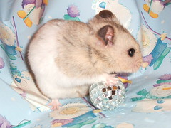 Blame It On The Boogie (inkognitoh) Tags: christmas pet animal rodent jose hamster mirrorball hamsters