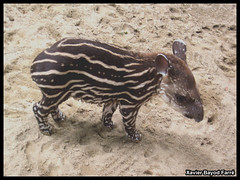 Brazilian tapir (Xavier Bayod Farr) Tags: barcelona baby nature animal animals fauna mammal zoo tiere brazilian xavier animalplanet animalia tapir tier terrestris mamifero xbf bayod zoobarcelona farr amazonico tapirus zoolgic naturesbabies xavierbayod zoolgicdebarcelona xavierbayodfarr