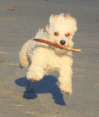Flying Buddy (William  Dalton) Tags: dog beach dogs poodle fetch jumpingdog impressedbeauty