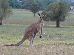 Kangaroo from Walka Water Works