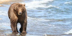Bear - Katmai National Park (pomegranatecreations) Tags: bestnaturetnc06