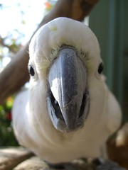 In your face Cockatoo